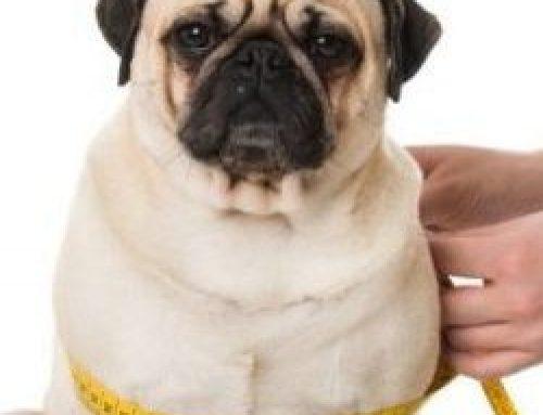 Übergewicht beim Hund – pfundige Gefahren