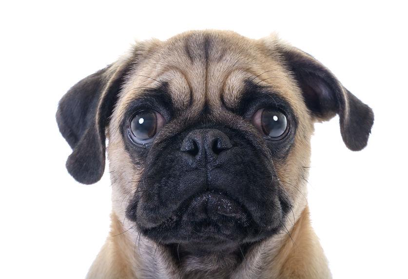 Bindehautentzuendung Hund Mops