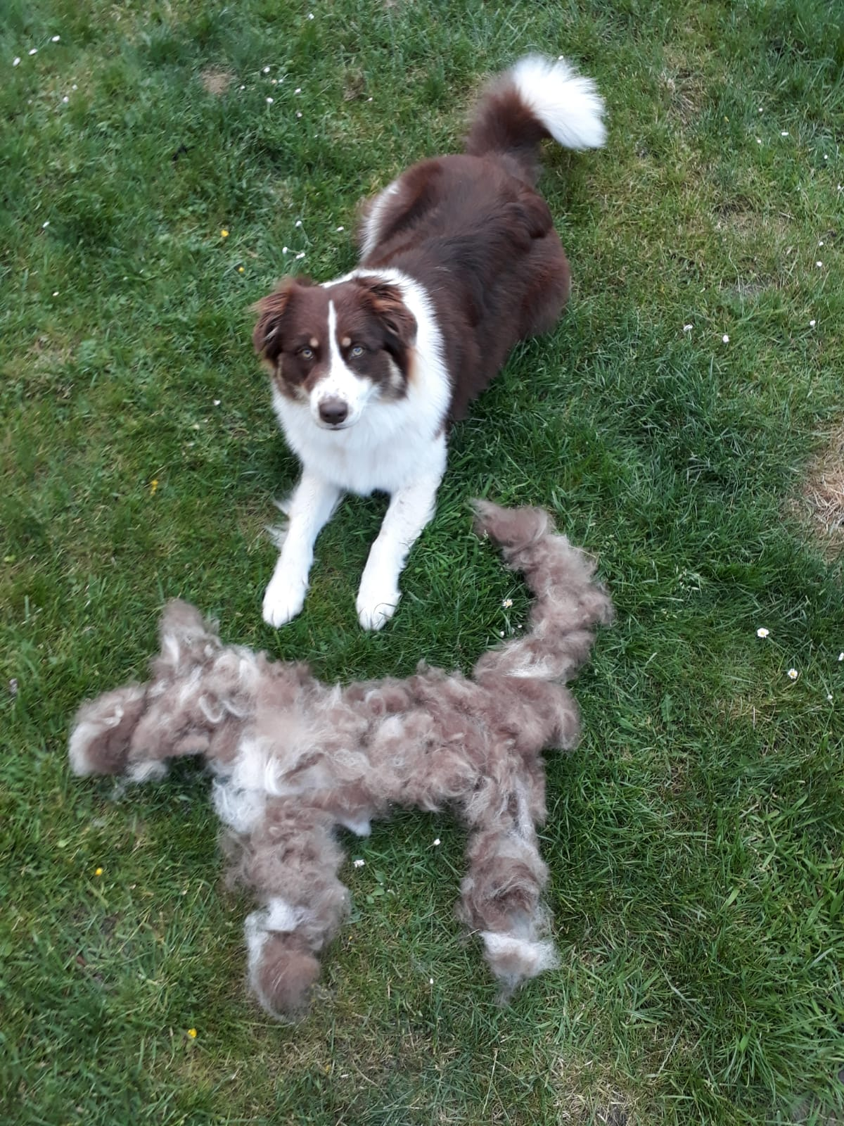 Fellwechsel Hund