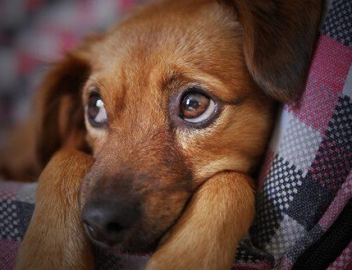 Traumeel beim Hund