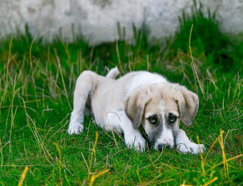 Grasmilben beim Hund